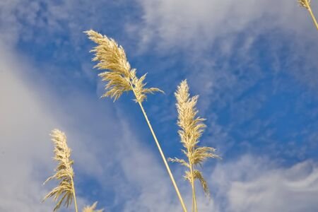 Pampas grass or toe toe against cloudy blue skies Stock Photo