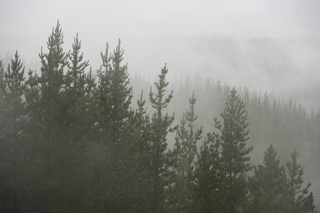 Misty and wet pine forest Stock Photo