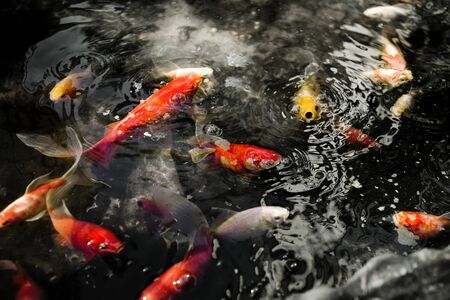 Colourful goldfish feeding at the surface of a pond