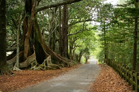 An asphalt country road leads past rows of huge roots of old fig trees