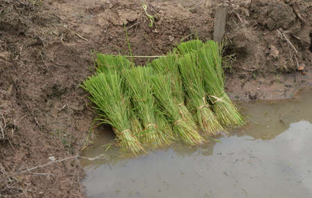 bunched: Bunches of young rice plants lying in a corner of the field just before being planted