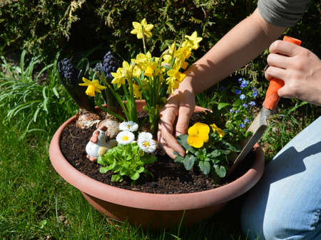 A woman is planting spring flowers in a plant pot Stock Photo
