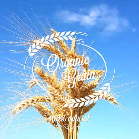 oat field: wheat ears spikes design background 10 eps