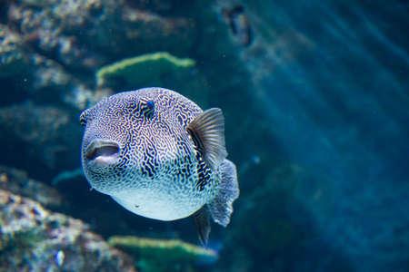 trigger fish: trigger fish in aquarium