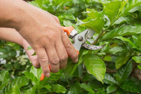 pruner: Hands with orange pruner in the garden