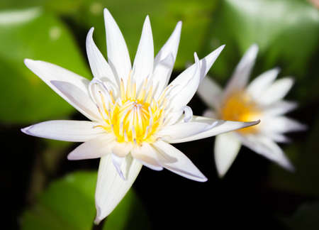 Picture of a white  lotus flower photo
