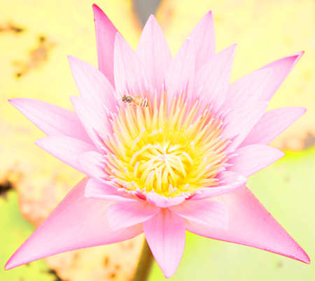 Bee nectar in the lotus. photo