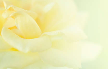Yellow Rose soft  blur background.