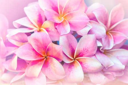 allegro: Plumeria soft pink blur background.