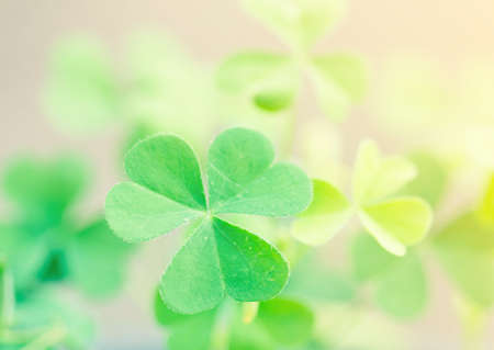 four leafed clover: Clover leaves with blurred background.