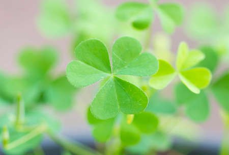 three leafed: Clover leaves with blurred background.