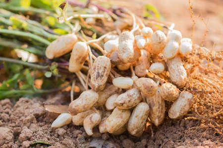 frische Erdnüsse Pflanzen mit Wurzeln. Standard-Bild