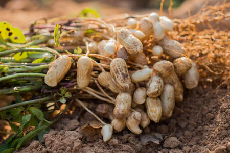 fresh peanuts plants with roots.