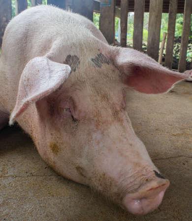 pigpen: pig sick