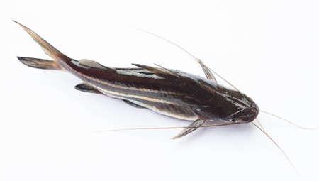 freshwater aquarium fish: Mystus  mysticetus freshwater aquarium fish on white background
