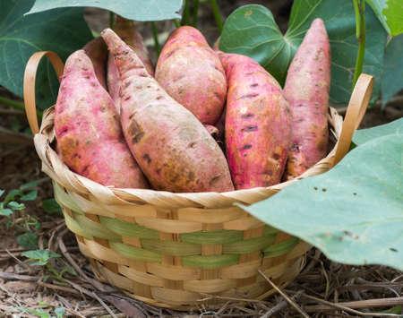 Sweet potatoes in a basket in the garden.