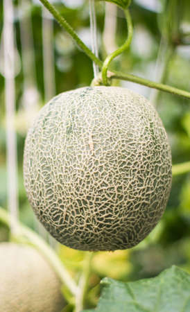 green melons growing in a greenhouse supported by string. Stock Photo