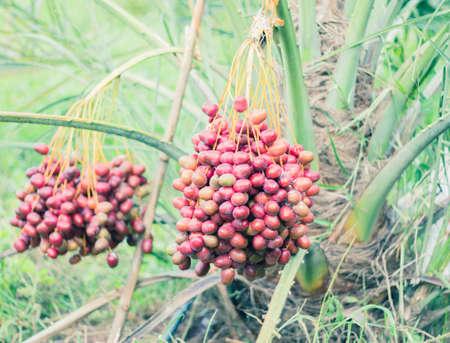holyland: fresh date palm on the tree. Stock Photo