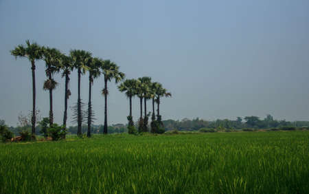 sugar palm: Sugar palm tree in rice field, thailand Stock Photo