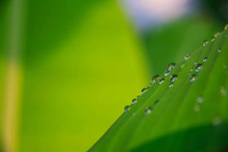 Close up of a banana tree leaf with raindrops,after raining,musa acuminata