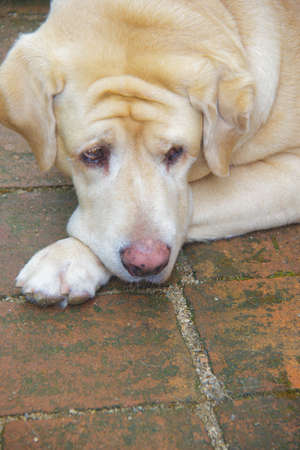 Labrador retriever dog on the floor ,dog anxiety  Фото со стока