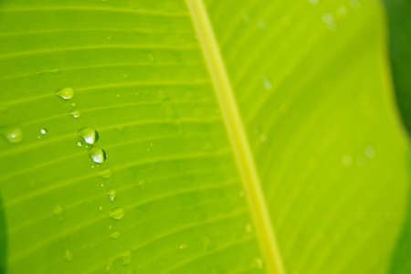 banana leaf after the rain banana leaf with water drops  photo