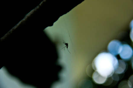 The mosquito has got in a web  bokeh background photo