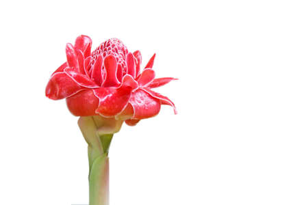 Red flower torch ginger in natural ,Torch  Ginger  Flower, Etlingera elatior (Jack) R.M. Smith,Torch  Ginger on white background. photo