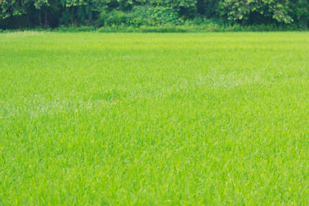 rice in field background photo