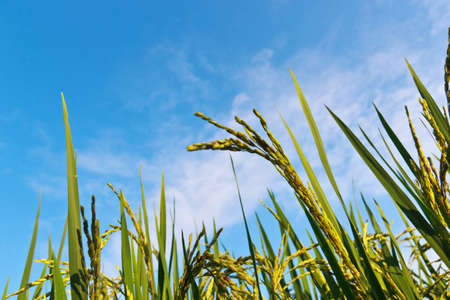 rice fields and the blue sky background photo