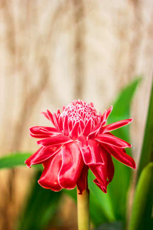 Red flower torch ginger in natural ,Torch Ginger Flower, Etlingera elatior  Jack  R M  Smith ,Torch Ginger photo