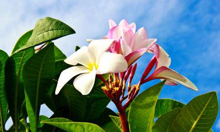 spp: Plumeria flower, Frangipani ,Plumeria spp. , Apocynaceae, Frangipani,Pagoda,Temple