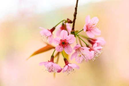 rosaceae: Pink flowers in thailand, Prunus cerasoides, Rosaceae, Prunus, Wild himalayan cherry in thailand