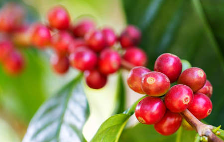 Coffee beans ripening on the branch in the twilight and blur background Фото со стока