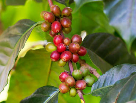 coffea: Coffee beans ripening on the branch in the twilight and blur background Stock Photo