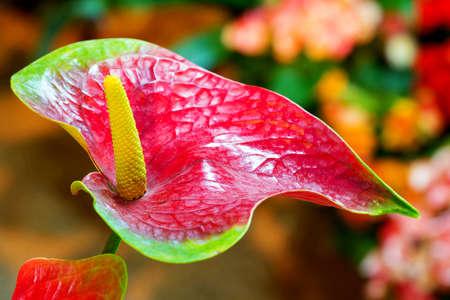 Red anthurium flower in botanic garden (anthurium andraeanum, araceae orarum) photo