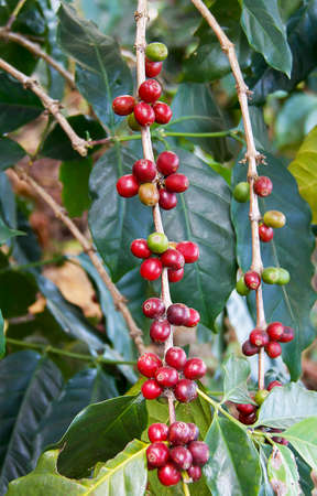 unpicked: Coffee beans ripening on the branch