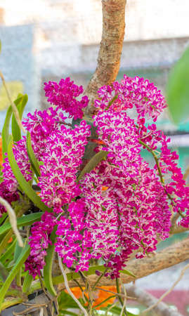 gigantea: purple and white orchid on nature background, Rhynchostylis gigantea