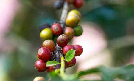 kona: Coffee beans ripening on the branch in the twilight and blur background Stock Photo