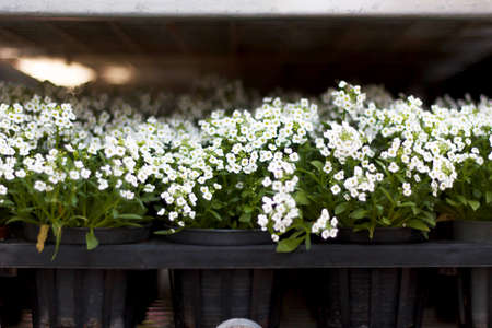 invasive plant: Sweet Alyssum (Lobularia maritima), White flowers in pots.