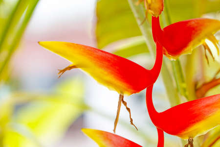 heliconiaceae: Beautiful Heliconia H. rostrata Ruiz  Pavon blooming on the garden