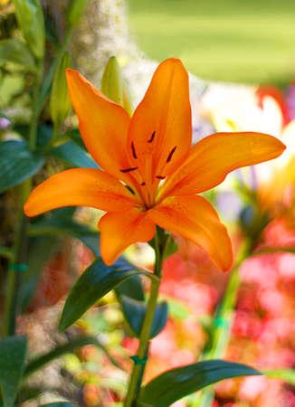 orange lily: Orange lily in the garden