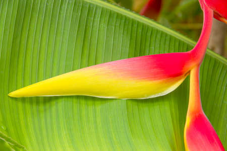 heliconiaceae: Beautiful Heliconia (H. rostrata Ruiz & Pavon) blooming on the green leaf background Stock Photo
