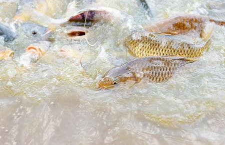 mango fish: Feeding fish Tilapia  Nile tilapia, Mango fish, Nilotica