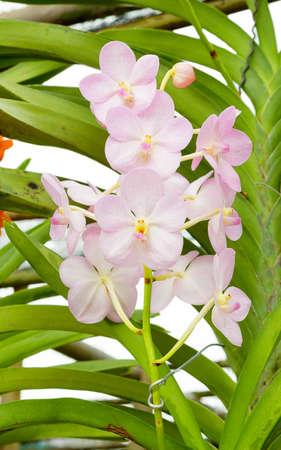 Vanda orchids Reklamní fotografie