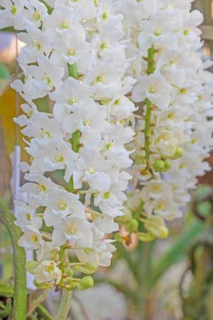 White orchid flowers in the garden Reklamní fotografie