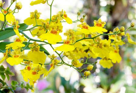 Oncidium Orchid Flowers, Dancing Lady orchid (Oncidium Varicosum, Oncidium Goldiana)