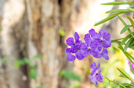 Purple vanda orchids in the garden Banque d'images