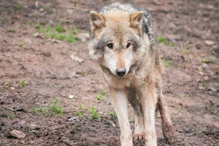 howl: Grey Wolf