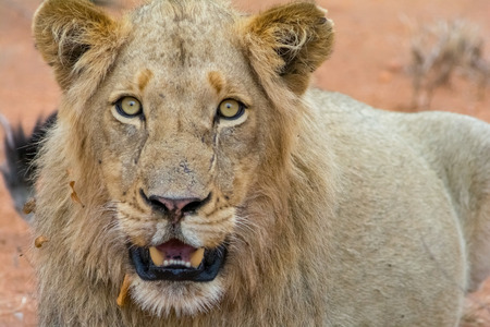 Portraiture of young male lion in Kruger National Park in South Africa Stock Photo